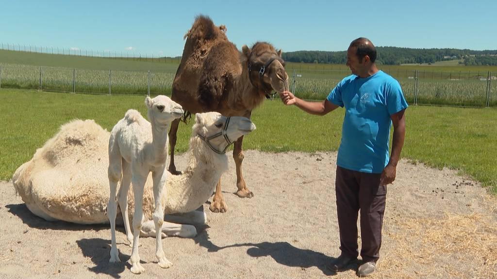 Kamelfarm begrüsst Jungtiere