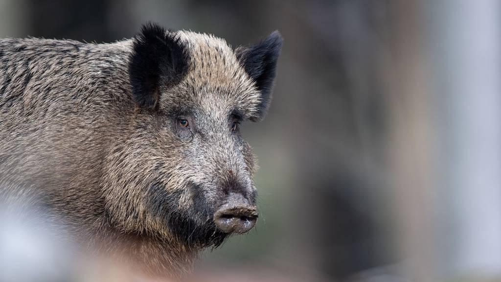 Einbruchsalarm in Supermarkt: Wildschwein ist der «Täter»