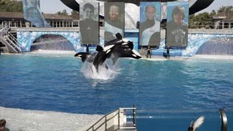 Der US-Vergnügungspark SeaWorld steht immer wieder in der Kritik für seine umstrittenen Shows mit Killerwalen. Nun musste das Unternehmen auch einräumen, Tierrechts-Organisationen infiltriert zu haben. (Archivbild)