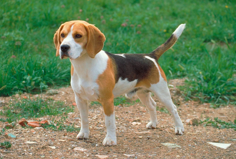 Der Beagle sprang auf die Strasse. Ob er angeleint war, ist unklar. (Symbolbild: iStock)