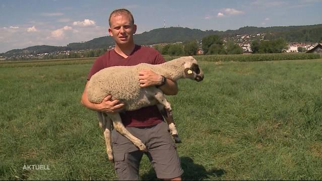 Seltenes Schaf in Benzenschwil gestohlen