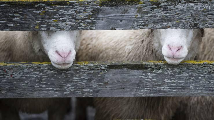 Wegen des Schächtens von zwei Lämmern wurde ein Oberwalliser Schafzüchter zu einer bedingten Geldstrafe verurteilt. (Symbolbild)