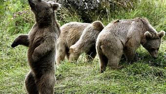 Die Bären im ihrem neuen Gehege