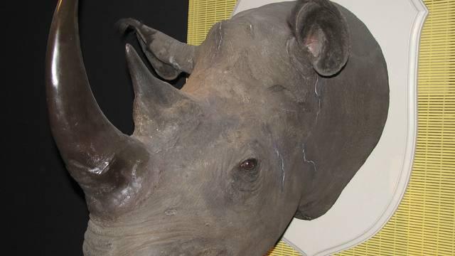 Ein ausgestopfter Rhinozeros-Kopf (Symbolbild)