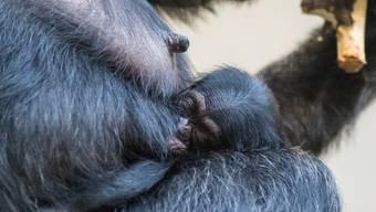 In der Nacht an Weihnachten kam im Basler Zolli ein Schimpansen-Weibchen zur Welt.