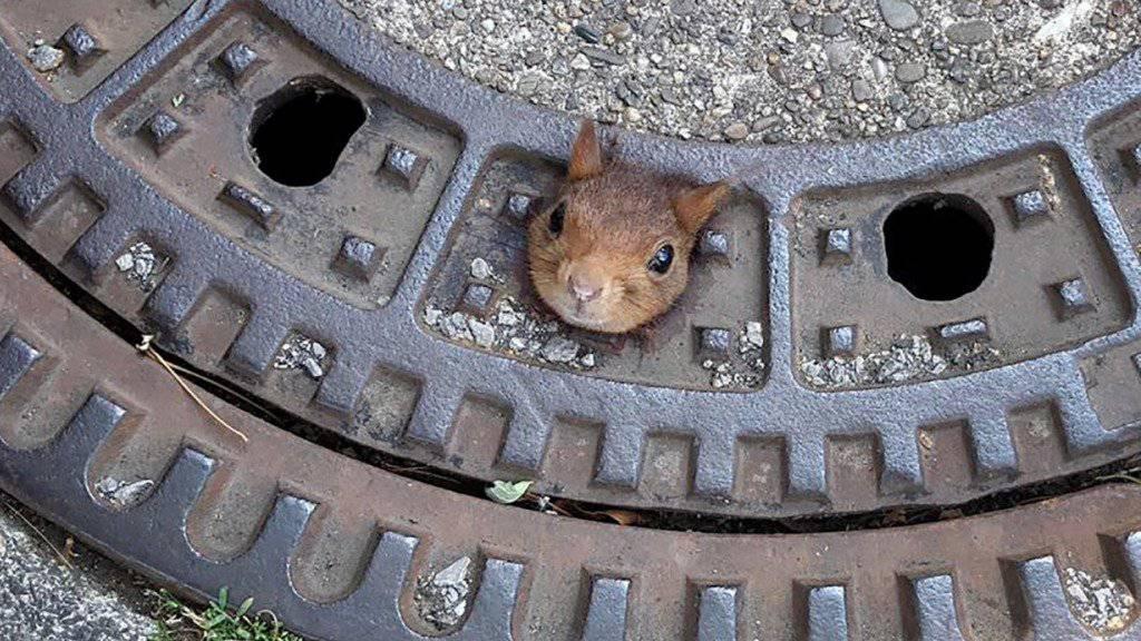 Im Schachtdeckel steckengeblieben: Das Eichhörnchen vor seiner Befreiung aus der misslichen Lage.