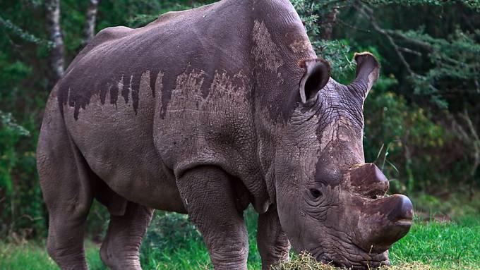 Das letzte männliche Nördliche Breitmaulnashorn, Sudan. Der Bulle starb im März 2018. Nun läuft eine Rettungsaktion für die Erhaltung der ARt. (Archivbild)