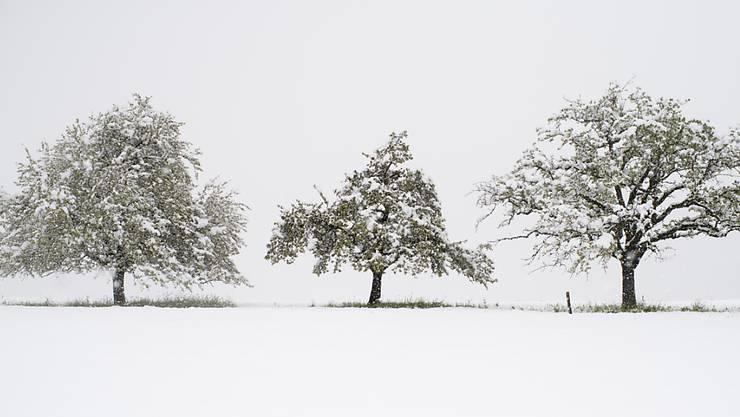 Obstbäume im Schnee: Nach dem Winterwetter vom Freitag wird ein sonniges Wochenende erwartet. Am frühen Samstagmorgen hat es aber in weiten Teilen der Schweiz erneut Bodenfrost gegeben. (KEYSTONE/Gian Ehrenzeller)