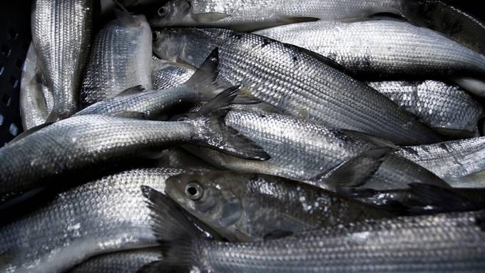 Was finanziell reinkommt und an Fisch rausgeht, entspräche dem bekannten Tropfen auf dem heissen Stein. (Symbolbild)