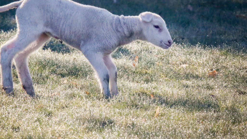 Böse Überraschung für einen Walliser Schafhalter: Rund 40 seiner Jungtiere wurden ihm vor Ostern gestohlen. (Archivbild)