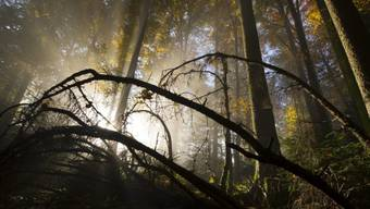 Der Vermisste wurde in einem Wald bei Muri tot gefunden. (Symbolbild)