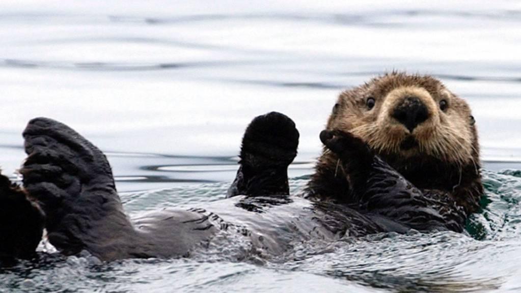 Seeotter fühlen sich in kalten Gewässern wohl.