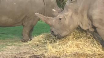 Die beiden Weibchen leben in einem Reservat in Kenia.