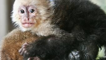Ein Kapuzineräffchen balgt sich mit einem anderen Affen (Symbolbild)