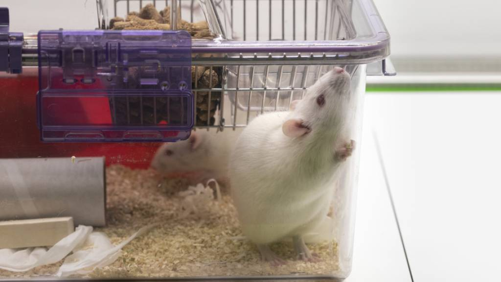 Auch zugedröhnten Ratten fehlt Zivilcourage