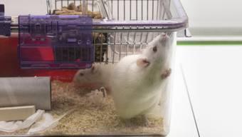 Ratten sind wie die Polizisten, die tatenlos der Misshandlung von George Floyd zusahen: Wenn kein anderer helfend einschreitet, tun sie es auch nicht. (Symbolbild)
