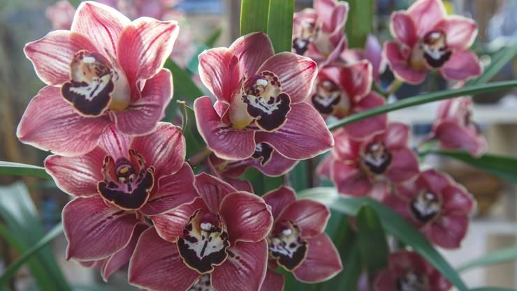 Eine duftende Falterorchidee zeigt sich in ihrer ganzen Pracht. Diese Sorte wächst als Strauch.