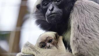 Neugieriger Blick in die Welt: Die Kappengibbons im Zürcher Zoo haben Nachwuchs bekommen.