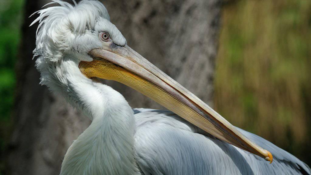 Ein Krauskopfpelikan im Tiergarten Schönbrunn. Nachdem bei einem der Pelikane das H5N8-Virus nachgewiesen worden war, musste der Zoo alle Pelikane einschläfern. (Archiv)