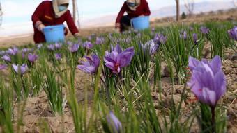 Safran-Ernte in Afghanistan. Forscher untersuchen, ob bestimmte Bakterien die Zwiebeln der Pflanzen vor Fäulnis schützen können. (Themenbild)