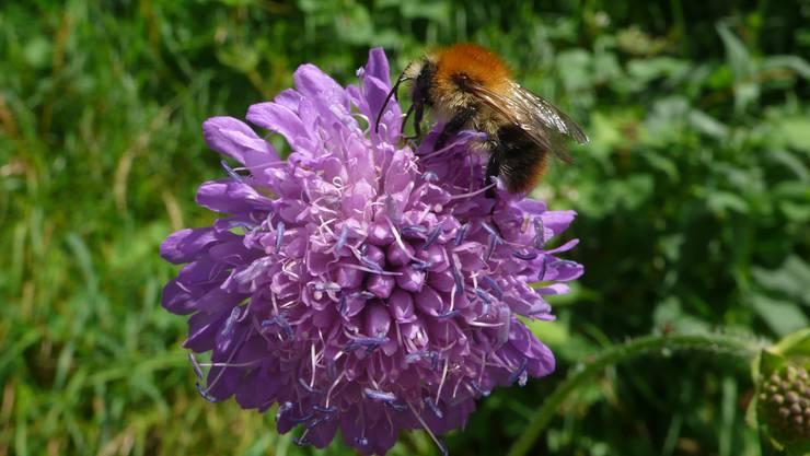 Veränderliche Hummel an Feld-Witwenblume