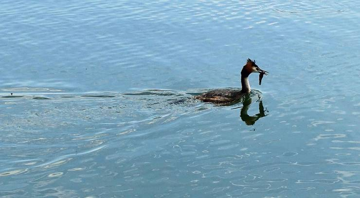 Der Fischfang am Murtensee