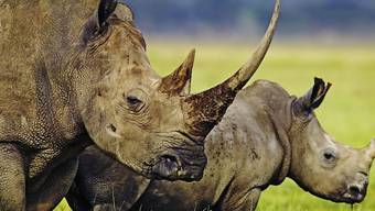 Länder im südlichen Afrika wollen den Artenschutz unter anderem für Nashörner lockern. Dagegen wehren sich Tierschützer. (Archivbild)