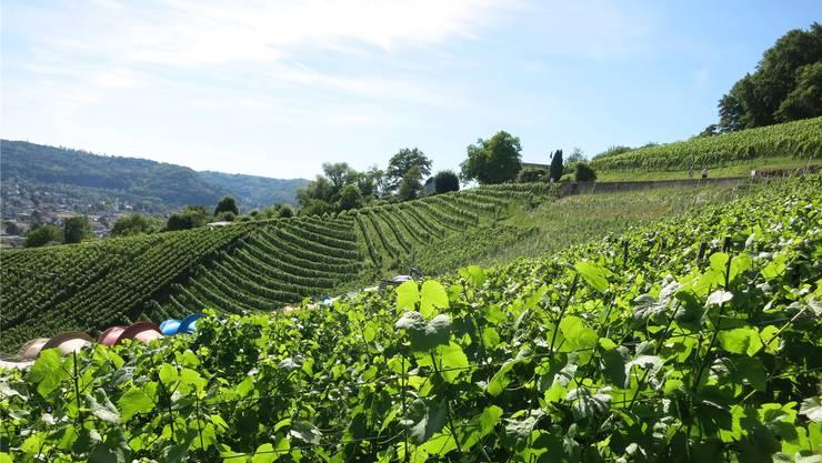 Auf fünf Hektaren pflegten insgesamt 28 Wettinger Winzer über 25000 Rebstöcke der Sorte Pinot Noir. zvg