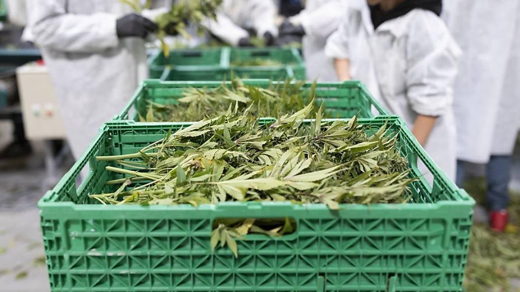 33 Millionen Franken Tabaksteuern zurück an Hanfblütenproduzenten