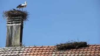 Störche sind auf dem Dach des Golfclubs Wylihof in Luterbach zurück