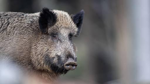 Autofahrerin kracht in Wildschweinrotte