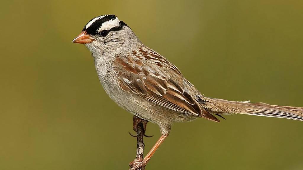 Zugvögel leiden unter Neonikotinoiden