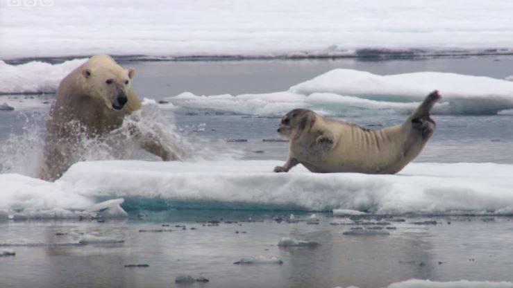 Die sichtlich ausgehungerte Eisbärin überrascht durch unglaubliche Schnelligkeit – und die Robbe durch ihre Wendigkeit.