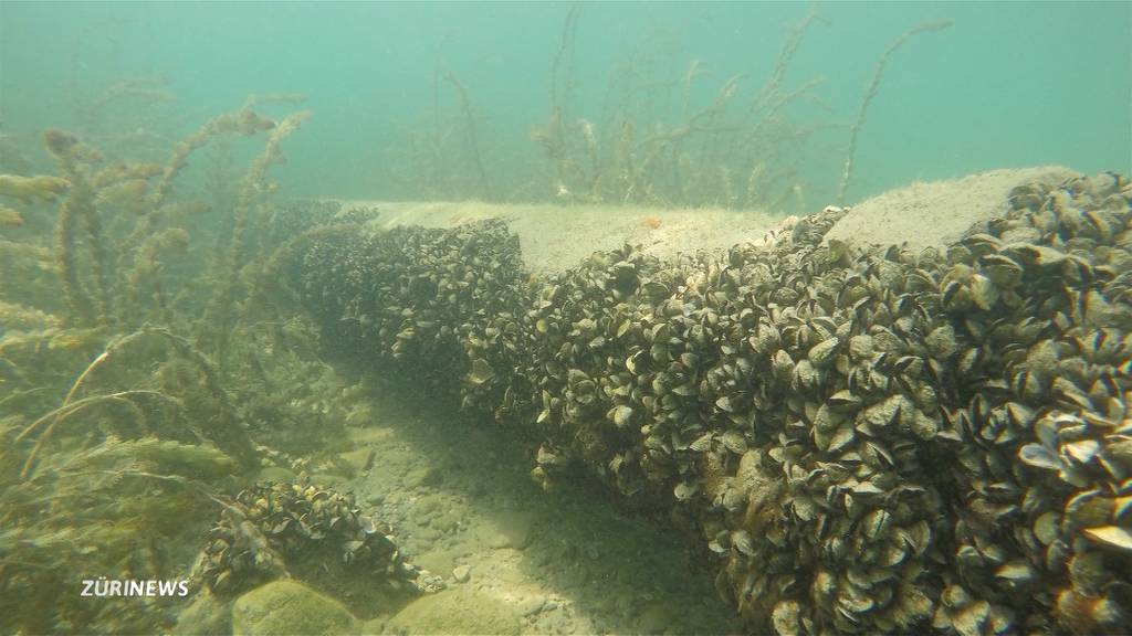 Kampf gegen fremde Muscheln in Zürcher Gewässern