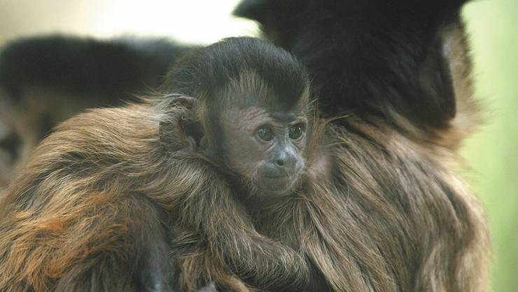 Im Tierpark hat es dieses Jahr auch bei den Kapuzineraffen wieder ein Jungtier gegeben. (Bilder von August 2013)