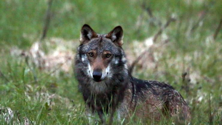Ein Wolf im Obergoms im Wallis: Dank Herdenschutzhunden sollen weniger Schafe von Wölfen gerissen werden. (Archivbild)