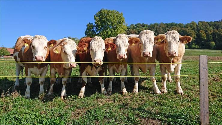 Am Sonntag können die Besucher des Loohofs in Endingen die Mutterkühe auf der Weide beobachten und sicher gehen, dass die Tiere artgerecht gehalten werden.