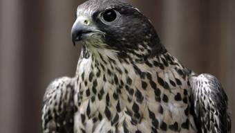 Ab heute Freitag kann man im Internet einem Falkenpaar beim Brüten zuschauen. (Bild Archiv)