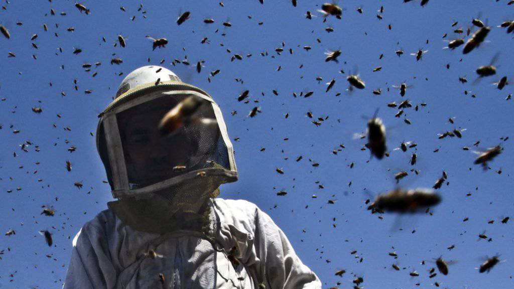 """Die angriffslustigen """"Killerbienen"""" entstehen aus einer Kreuzung von Honigbienen europäischer Abstammung mit Wildbienen afrikanischen Ursprungs. (Symbolbild)"""
