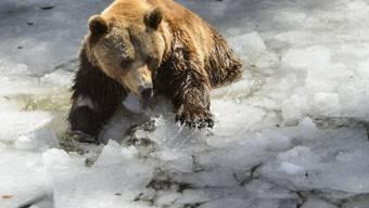 Einer der drei Bären testet gleich das Eis im Juraparc in Vallobre