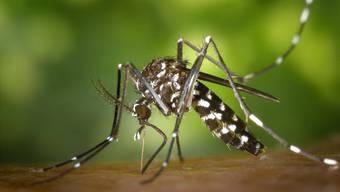 Trotz heissem Sommer: Der Asiatischen Tigermücke ist es im Fricktal zu kalt.
