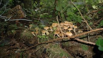 Die Baselbieter Pilz-Saison ist bis jetzt miserabel. Schuld daran ist das trockene Wetter. Trotzdem wollen die Pilzler die Hoffnung noch nicht aufgeben.
