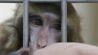 Tierversuche mit Affen sind besonders umstritten (Archiv)