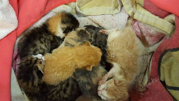 Die frischgeborenen Katzenbabies wurden vom Tierschutz beider Basel gerettet.