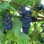 Auch in Frenkendorf hat es die Trauben.  Der Beweis ist dieses Bild.