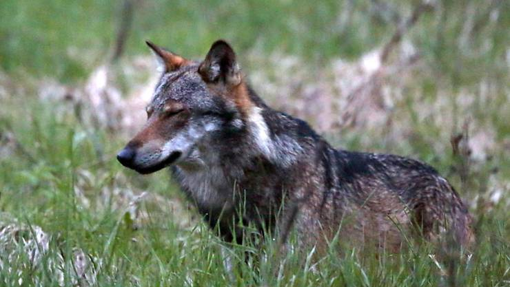 Im Wallis sind im laufenden Jahr deutlich weniger Nutztiere von Wölfen gerissen worden als im Vorjahr. (Archivbild)