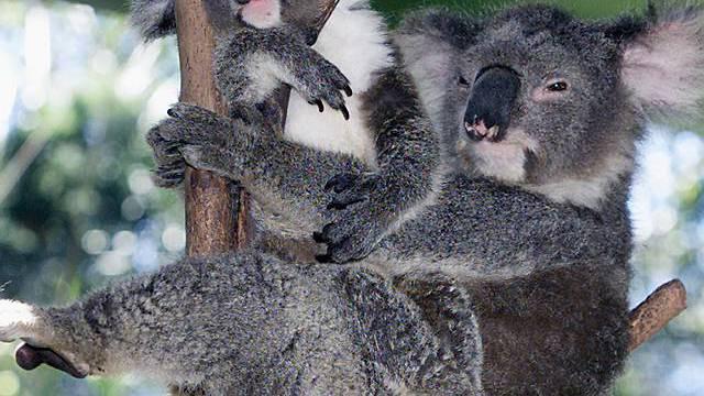 Eine Koalabär-Mutter mit ihrem 10 Monate alten Baby