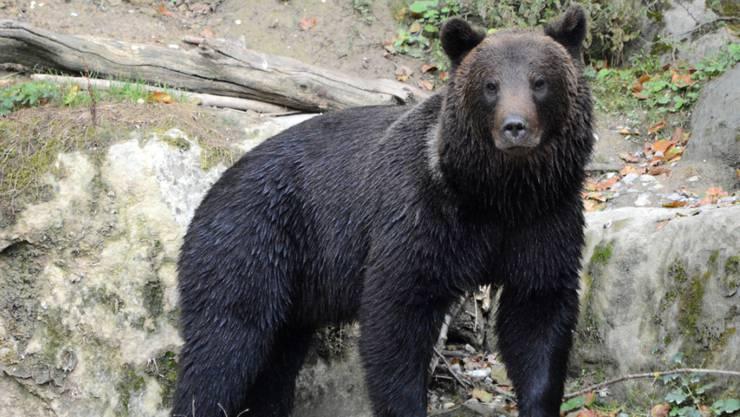 Einer der drei Jungbären aus dem Wildnispark Zürich hat in Belgien ein neues Zuhause gefunden.