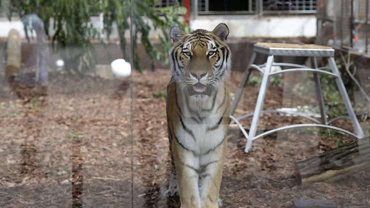 Ein 200 Kilo schwerer Tiger ist in Paris aus einem Zirkus-Gehege ausgebrochen. (Symbolbild)