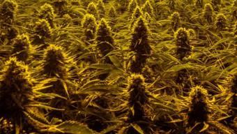 Die Beamten stiessen auf 1'000 Cannabis Pflanzen. (Symbolbild)